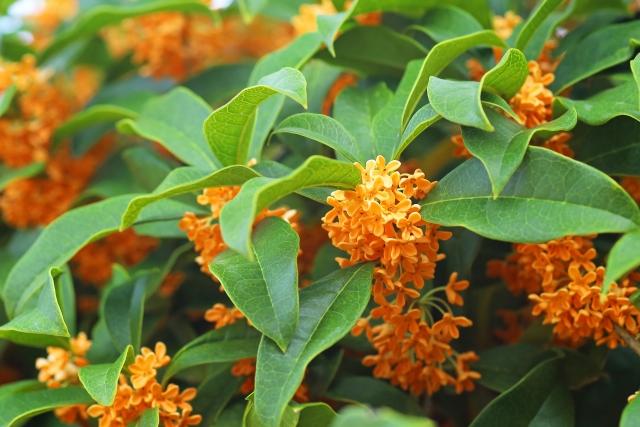 金木犀の花と香